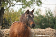 Cute pony standing near the hay. Cute brown pony standing near the hay Royalty Free Stock Photos