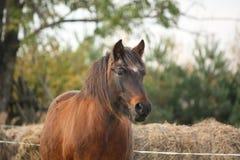Cute pony standing near the hay Royalty Free Stock Photos