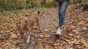 Cute pooch puppy with her owner in autumn park stock footage