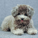 Cute Poodle Royalty Free Stock Images