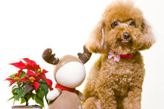 Cute poodle dog. With teddy bear and flowers, white studio background Royalty Free Stock Images