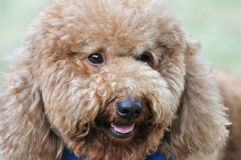 Cute poodle dog. A beautiful and lovely poodle dog, with brown fur and cute eyes and mouth Royalty Free Stock Images