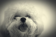 Cute poodle dog Royalty Free Stock Image