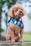 Cute poodle dog Stock Image