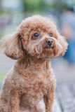Cute poodle dog Royalty Free Stock Photos