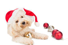 Cute poodle dog in santa costume posing with Christmas ornaments Stock Photography