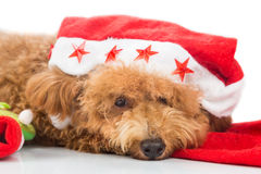Cute poodle dog in santa costume posing with Christmas ornaments Royalty Free Stock Images