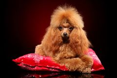 Cute poodle lying on a red pillow. Young toy Poodle lying on a red pillow. Animal themes stock images