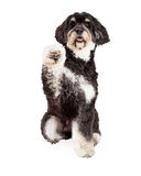 Cute Poodle Mix Breed Dog Shaking Paw Stock Images