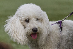Cute poodle Stock Photography