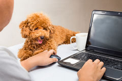 Cute poodle puppy accompany person working with laptop computer on office desk royalty free stock photography