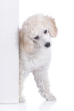 Cute poodle puppy behind a white wall Stock Photography