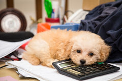 Cute poodle puppy dog resting on a calculator placed on a messy office desk.  Stock Photography