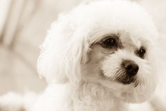 Cute poodle puppy feeling of the eyes in sepia tone Royalty Free Stock Images