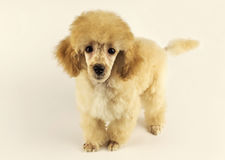Cute poodle puppy looking at you. Cream cute poodle puppy looking at you. dog Royalty Free Stock Image