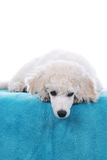 Cute poodle puppy lying on a blue blanket Royalty Free Stock Photos