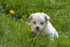 Cute poodle puppy playing Stock Photos