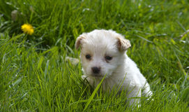 Cute poodle puppy playing Stock Image