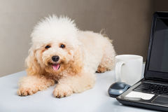Cute poodle puppy resting on office desk with laptop computer.  royalty free stock image