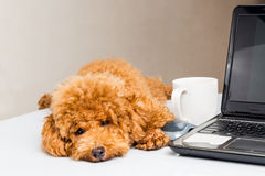 Cute poodle puppy resting on office desk with laptop computer.  royalty free stock photos
