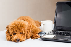 Cute poodle puppy resting on office desk with laptop computer.  stock images