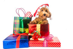 Cute poodle puppy in Santa costume with abundant Christmas gifts.  Royalty Free Stock Image