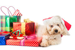 Cute poodle puppy in Santa costume with abundant Christmas gifts.  Stock Images