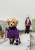 Cute poodle puppy in winter clothes. On a background of the child in the background Royalty Free Stock Photography