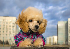 Cute poodle puppy in winter clothes, on a wooden surface. Cute poodle puppy in winter clothes, watches lying on a wooden surface Stock Photo