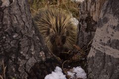 Porcupine In California Park, Colorado royalty free stock photo