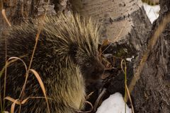 Porcupine In California Park, Colorado royalty free stock images