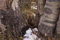 Cute Porcupine In California Park, Colorado stock photography