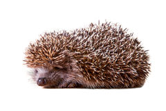 Cute porcupine - hedgehog Royalty Free Stock Images
