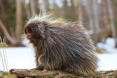 Cute porcupine snacking one fir branch Royalty Free Stock Photography
