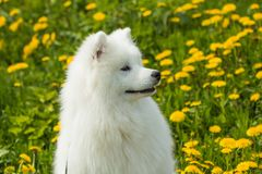Beautiful portrait of a Samoyed dog Royalty Free Stock Photo