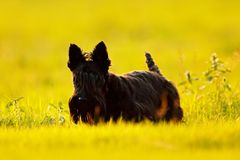 Cute portrait of black Scottish Terrier Dog with stuck out pink tongue sitting on green grass lawn. Evening light with terrier. Su Stock Images