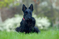 Cute portrait of black Scottish Terrier dog with stuck out pink tongue sitting on green grass lawn, white flower in the background. United Kingdom royalty free stock photography