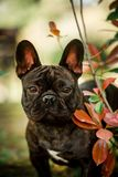 cute portrait black Small french bull dog sit on grass. green forest on background stock photos