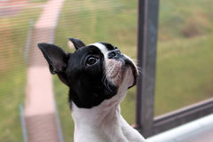 Cute portrait of the Boston Terrier Royalty Free Stock Photos