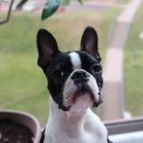 Cute portrait of the Boston Terrier Stock Photo