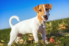 Cute portrait of a dog puppy breed jack russell terrier in the collar, plays in a ball on a green meadow against a blue sky back. Ground stock photos