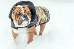 Portrait of English bulldog. Cute portrait of English bulldog in the snow,selective focus Royalty Free Stock Photography