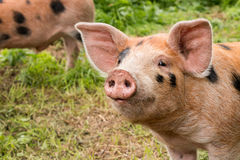 Cute portrait of a little pig royalty free stock photos