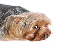 Cute portrait of lying yorkshire terrier Stock Image