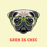Cute portrait of nerdy Pug dog. Vector illustration  on white. Background Stock Images