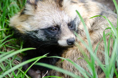 Cute portrait of raccoon dog Royalty Free Stock Images