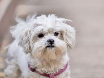 A cute portrait of the white havanese puppy royalty free stock photography