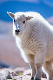 Cute portrait of young mountain goat Royalty Free Stock Image