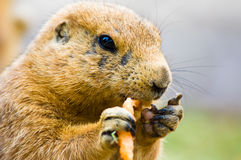 Cute prairie dog Royalty Free Stock Photos
