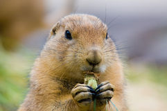 Cute prairie dog Stock Images